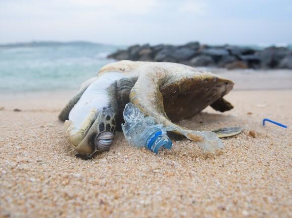 Tote Meeresschildkröte an einem plastiküberfluteten Strand